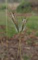 Dicanthium sericeum flower spikes.jpg