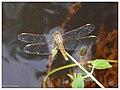 Dicth Jewel (Brachythemis contaminata) Male- Female (14876980840).jpg