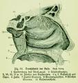 Die Frau als Hausärztin (1911) 024 Durchschnitt der Nase.png