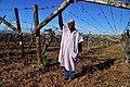 Die Mas vineyard, Wine Route, Upington, Northern Cape, South Africa (20351668209).jpg