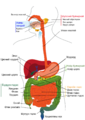 Digestive system diagram mn.png