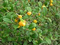 Diospyros ferrea (Willd.)Bakh.var.buxifolia (Rottb.)Bakh..jpg