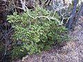 Diospyros whyteana, habitus, b, Waterberg.jpg