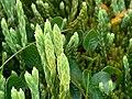 Diphasiastrum alpinum strobili (13).jpg
