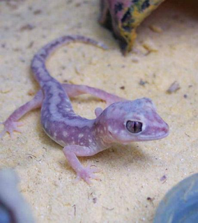 Beaded gecko Species of lizard