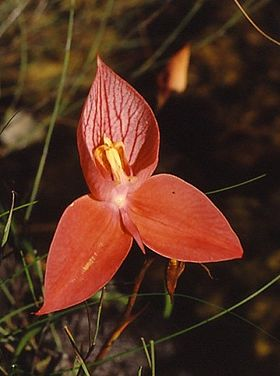 Disa uniflora single.jpg