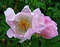Dog rose ^2 - Flickr - Stiller Beobachter.jpg