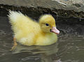 Domestic duck in Venezuela.jpg