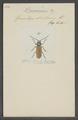 Dorcasomus - Print - Iconographia Zoologica - Special Collections University of Amsterdam - UBAINV0274 033 13 0002.tif
