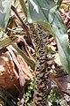 Dracunculus vulgaris Stiel.JPG