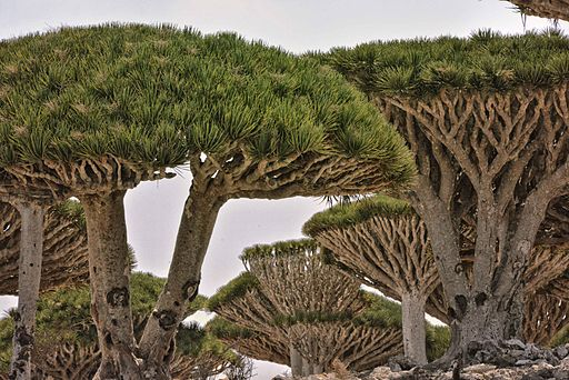 Dragon Tree, Socotra Is, Yemen (9855361935)