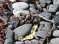 Dritvík - Pflanzliches Treibgut mit Muscheln.jpg
