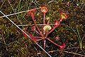 Drosera rotundifolia 2 Darwiniana.jpg