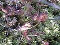 Drosera rotundifolia krakow podgorki tynieckie 2008.JPG