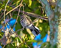 Dry-forest Sabrewing, Montes Claros, Brazil, 5-21.jpg