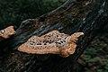 Dryad's Saddle Pheasant's Back Mushroom (cerioporus squamosus) (41623969505).jpg