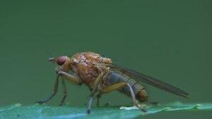 File:Dryomyza flaveola - male on Impatiens glandulifera.ogv