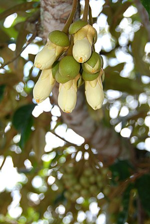 Durian - Durian flowers are usually closed during the daytime.