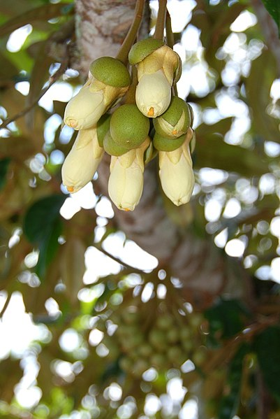 File:Durian flower.jpg
