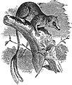 EB1911 Insectivora — Fig. 1. Pen-tailed Tree-Shrew (Ptilocercus lowii).jpg