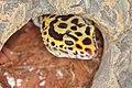 EUBLEPHARIS-MACULARIUS Leopard-Gecko Leopardgecko 201705276012.jpg