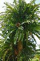 Eastern Cape Giant Cycad (Encephalartos altensteinii) (32943278786).jpg
