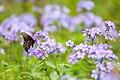 Eastern tiger swallowtail (33688686705).jpg