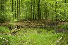 Ebracher Forst Der Hohe Buchene Wald im Ebracher Forst 002.JPG