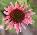Echinacea 2 (3710713212).jpg