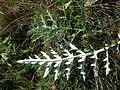 Echinops ritro subsp. ruthenicus sl26.jpg