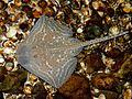 Ecomare - kleinoogroog in zeeaquarium (kleinoogrog-zeeaquarium-00-sd).jpg