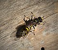 Ectemnius species with prey ( Eupeodes species) (4) (49344980423).jpg