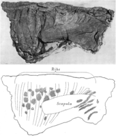 Photograph and interpretive drawing of the thorax region of the mummy