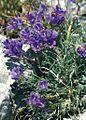 Edraianthus horvatii.jpg