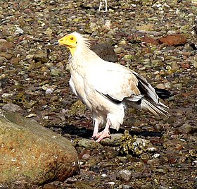Egyptian Vulture - Flickr - gailhampshire.jpg