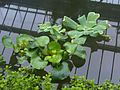 Eichhornia crassipes and Pistia stratiotes - Kew 1.jpg