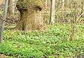 Eilenriede Bodenblumen.jpg