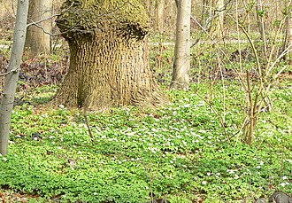 Eilenriede - Image: Eilenriede Bodenblumen