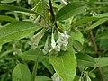 Elaeagnus multiflora 2016-05-17 0207.jpg