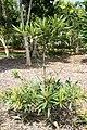 Elaeocarpus hygrophyllus 2zz.jpg