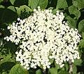 Elder Flowers (Sambucus nigra) - geograph.org.uk - 199374.jpg