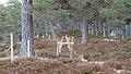 Electric Fence (Glen Lui) on Mar Lodge Estate (15MAR13) (4).jpg