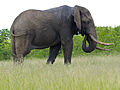 Elephant (Loxodonta africana) big tusker (13818755275).jpg