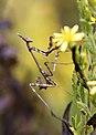 Empusa pennata - Mantis palo - Cone-Head mantis (4000039683).jpg