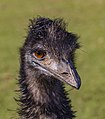 Emu (35585090832).jpg