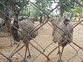 Emu farm at Daringbari.JPG