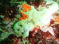 Encrusting colonial ascidian at Lorry Bay PB011984.JPG