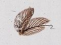 Ephemeroptera (YPM IZ 098658).jpeg