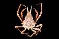 Epialtidae (MNHN-IU-2013-1692).jpeg