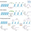Epigenetic priming model.png